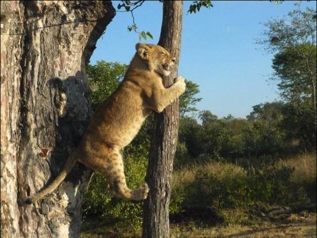 climing lion