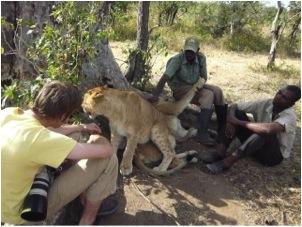 lion 25