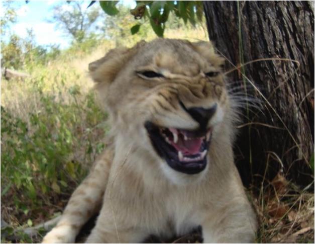 lion 96