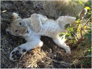 lion 98