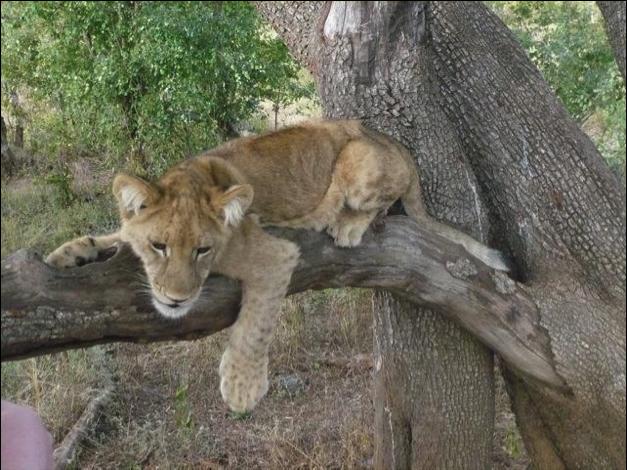 lion tree 3