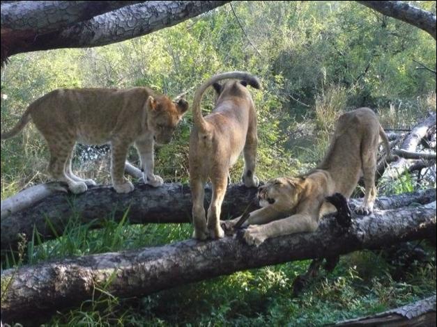 lionn in tree