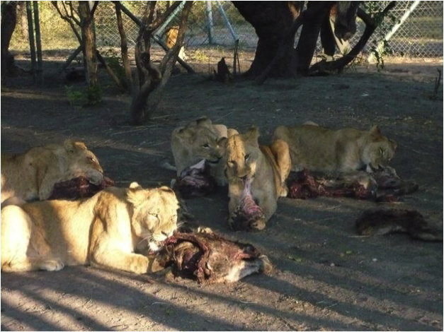lions eating 4