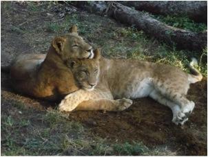 lion 36