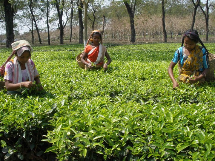 assam-tea-garden-Wallpaper