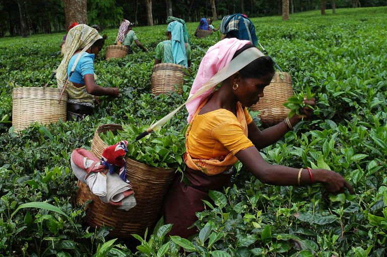 Pix-Tea Garden-4-----Caption : Women tea labourers are plucking tea-leaves from a teagarden of Eastern Indian State Assam. Pix-Shib Shankar Chatterjee.