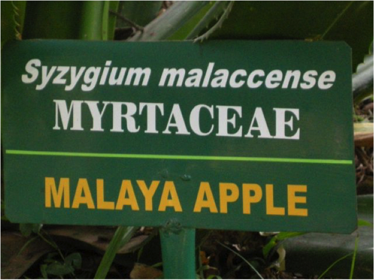 malaya apple