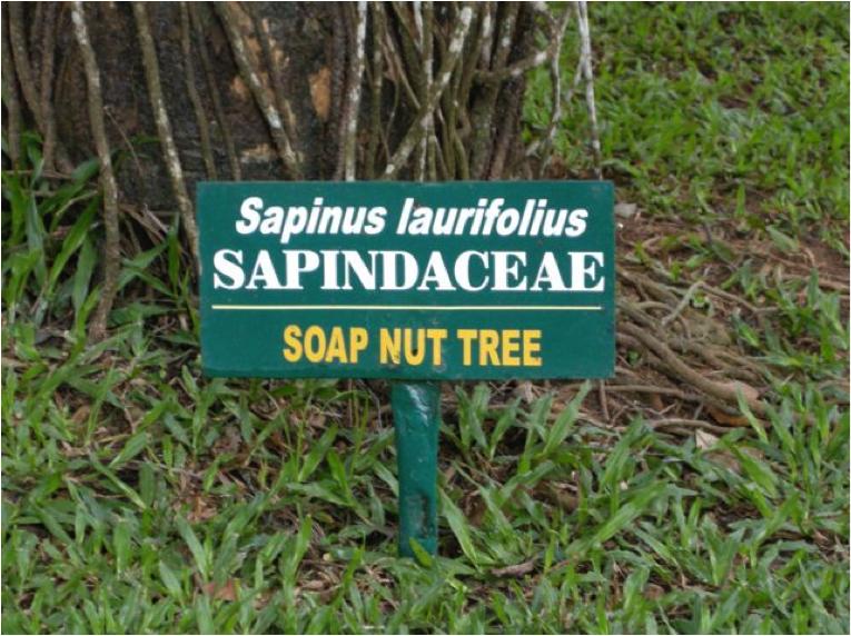 soap nut tree