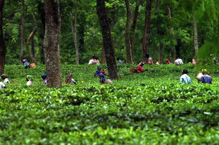 Pix-Tea Garden-6-----Caption : A view of  a teagarden of Eastern Indian State Assam. Pix-Shib Shankar Chatterjee.