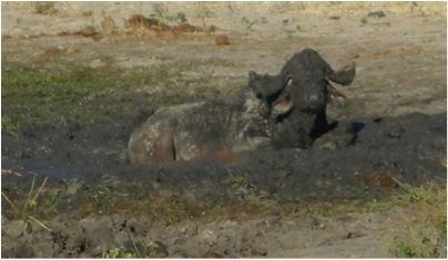 dirty buffalo