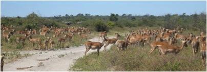 herd of impala 2
