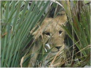 lion 50