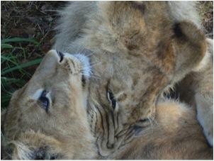lion 54