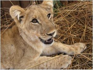 lion 56