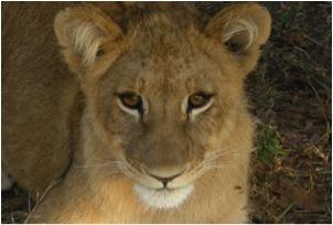lion 60