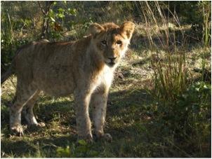 lion 63