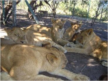 lions in enclusure