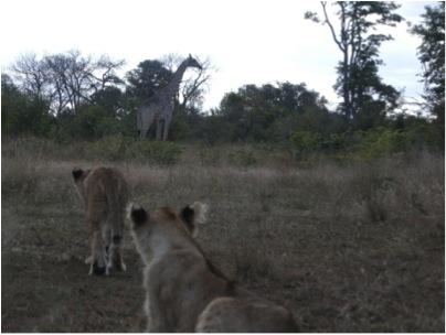 stalking giraffe 2